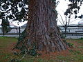Mammutbaum - Stamm.jpg