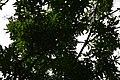 Mangifera indica 32zz.jpg