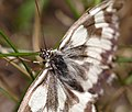 Marbled white (35989516860).jpg