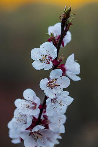 Apricot - Image: Marillenblüten