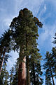 Mariposa Grove, Yosemite National Park (5636649489).jpg