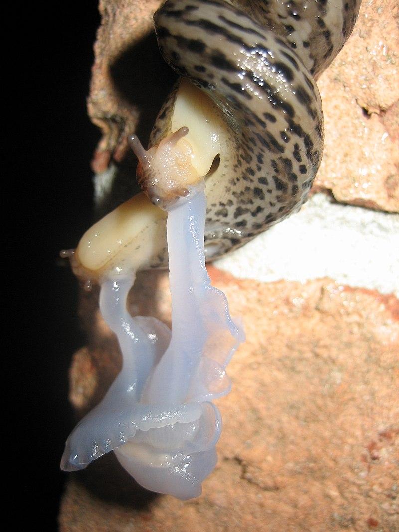Mating Great Grey Slug 4124.jpg