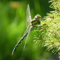 Mature male Southern Hawker. Aeshna cyanea (43855986644).jpg