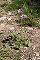 Mauve sylvestre-Malva sylvestris-Calvisson RGI-20140806.jpg