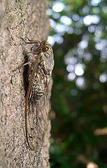 Meimuna opalifera female.jpg