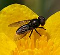 Melanogaster spp. (male).jpg
