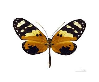 <i>Melinaea ludovica</i> species of insect