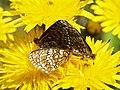 Melitaea athalia (in copula) - Heath fritillary (mating) - Шашечница аталия (спаривание) (42781103651).jpg