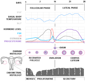 Diagram of the menstrual cycle (based on sever...