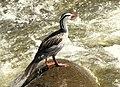 Merganetta armata (Pato de torrente) (Macho) (14251575212).jpg