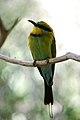Merops ornatus -Alice Springs Desert Park, Northern Territory, Australia-8a.jpg