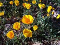 Mexican Gold Poppy - Eschscholtzia mexicana - Mojave Wild Flowers - panoramio.jpg