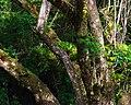 Micos- de- cara- preta ameaçados de extinção.jpg