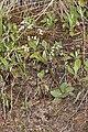 Micranthes idahoensis 4853.JPG