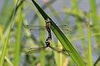 Migrant hawker dragonflies (Aeshna mixta) mating.jpg