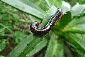 Millipede in South Africa 01.jpg