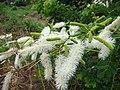 Mimosa caesalpiniaefolia 1.jpg
