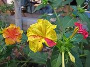 Окраска цветков может варьировать даже в пределах одного растения