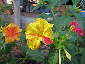 Mirabilis jalapa - Different color variation in the flower and different color flowers in same plant.