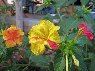 Mirabilis jalapa - Image: Mirabilis jalapa In Different Colors