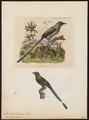 Momotus brasiliensis - 1700-1880 - Print - Iconographia Zoologica - Special Collections University of Amsterdam - UBA01 IZ16700327.tif