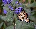Monarch Butterfly Purple Flower 3000px.jpg