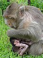 Monkeys at Prang Sam Yot (Monkey Temple) - Lop Buri - Thailand - 02 (34217995243).jpg