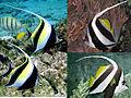 Moorish-pennant-bannerfish.jpg