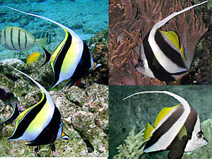 Moorish idol - A comparison of the three remarkably similar fish: the Moorish idol (left), schooling bannerfish (top), and pennant coralfish(bottom)