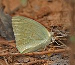 Mottled Emigrant (Catopsilia pyranthe)- Male in Hyderabad, AP W IMG 7139.jpg