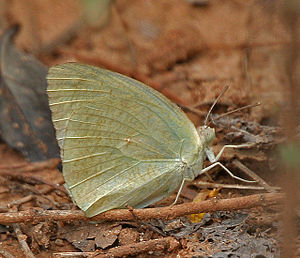 Catopsilia pyranthe - Male in Hyderabad, India
