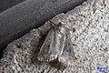 Mouse moth (NH266) (16036568872).jpg