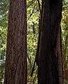 Muir Woods (50570).jpg