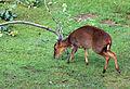 Muntiacus reevesi Zoo Praha 2011-2.jpg