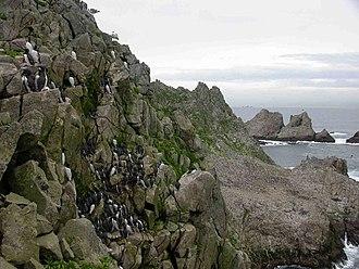 Farallon Islands - Common murre colony on the Farallones