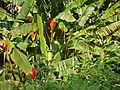 Musa coccinea (5592477707).jpg