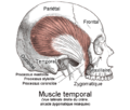 Muscle temporal droit.png