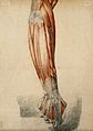 Muscles and tendons of the arm and clenched fist. Red chalk Wellcome V0008257.jpg