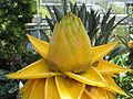 Musella lasiocarpa - golden lotus banana - desc-single flower.jpg