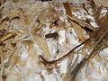 Mycelium Pleurotus citrinopileatus R.H. (3).jpg