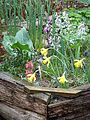 Narcissus minor, amongst other things - Flickr - peganum.jpg