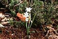 Narcissus papyraceus1.jpg