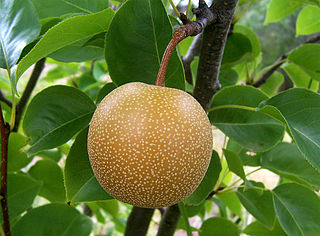 species of pear with round crisp grainy fruit
