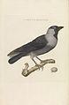 Nederlandsche vogelen (KB) - Coloeus monedula (219pl).jpg
