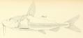 Nemadoras humeralis Kner 1855.png