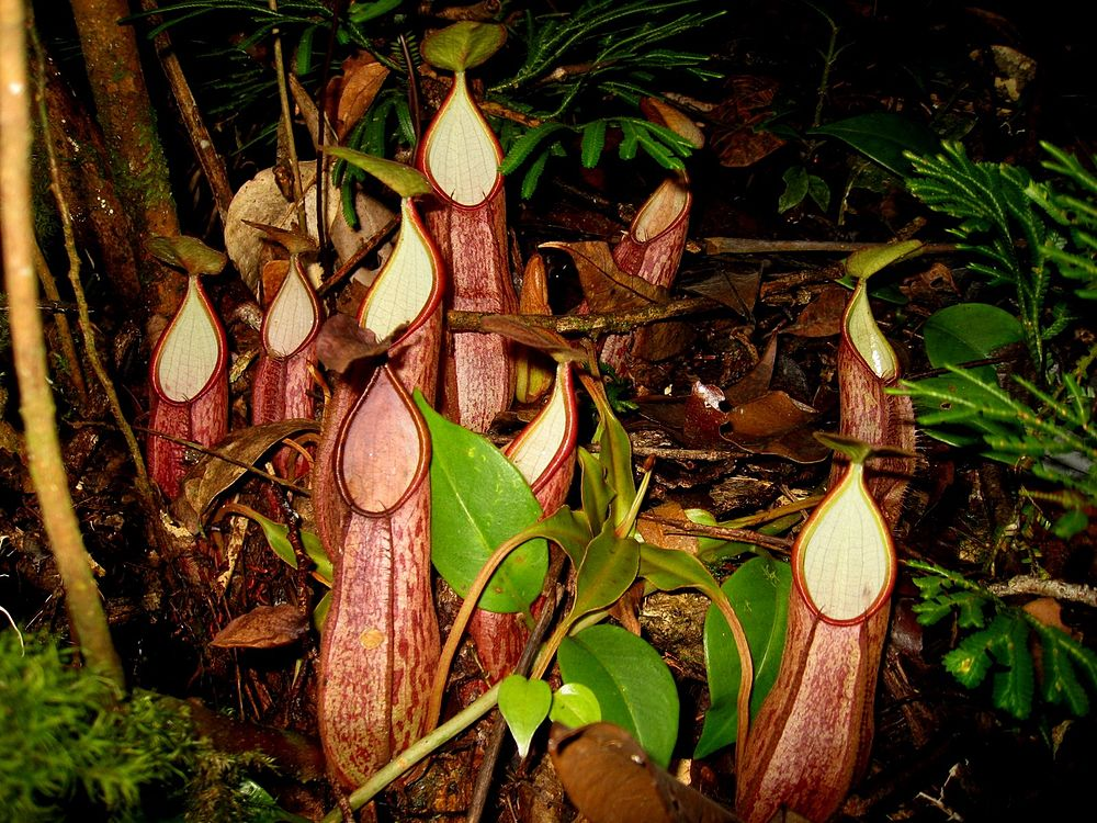 Nepenthes gymnamphora 1.JPG