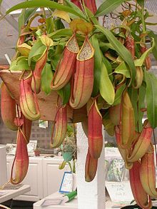Nepenthes sanguinea.jpg