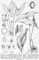 Nephthytis pois drawing.png