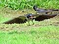 Nesting Time (8715156681).jpg