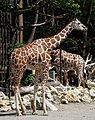 Netzgiraffe (Giraffa camelopardalis reticulata) Tierpark Hellabrunn-6.jpg